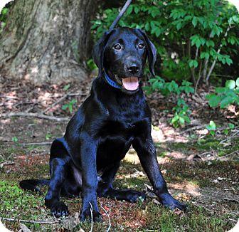 Labrador Retriever Mix Puppy for adoption in East Hartland, Connecticut - Rogue