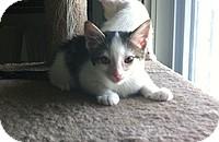 Domestic Shorthair Kitten for adoption in Tampa, Florida - Birdo
