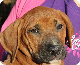 Boxer/Labrador Retriever Mix Puppy for adoption in Pewaukee, Wisconsin - MOLLY - honey colored DOLL!
