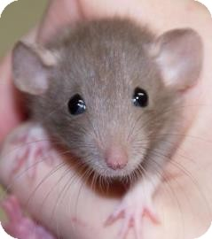 Rat for adoption in West Des Moines, Iowa - Baby Rat 5