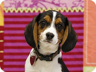 Beagle/Cavalier King Charles Spaniel Mix Puppy for adoption in Ile-Perrot, Quebec - Clarice