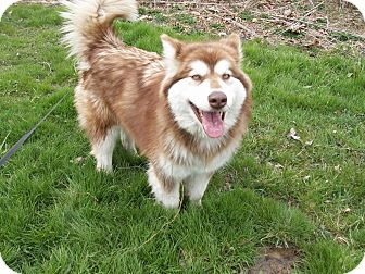 Alaskan Malamute Mix Dog for adoption in Augusta County, Virginia - Sugar
