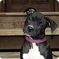Adopt A Pet :: Patsy - Reisterstown, MD