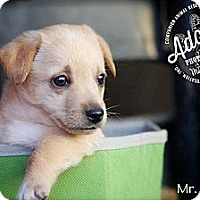Adopt A Pet :: Mr. Pickles - Albany, NY