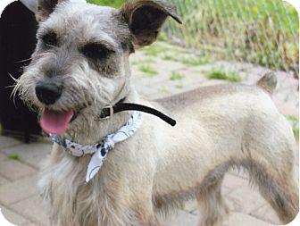 Miniature Schnauzer Dog for adoption in Sharonville, Ohio - Chip