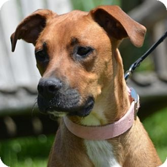 Boxer/Redbone Coonhound Mix Dog for adoption in St. Charles, Illinois - Adelle