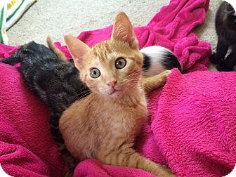 Domestic Shorthair Kitten for adoption in Middletown, Rhode Island - Sherbert