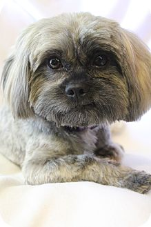 Shih Tzu/Poodle (Miniature) Mix Dog for adoption in Hagerstown, Maryland - Jasper