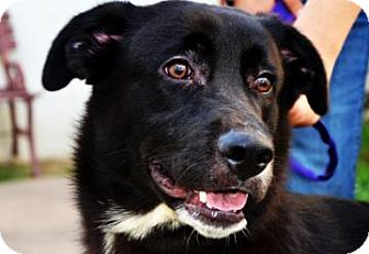 Labrador Retriever Mix Dog for adoption in Fort Smith, Arkansas - Marlin