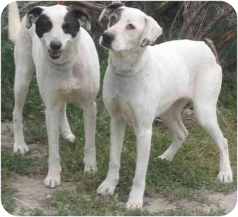 Pointer/English Pointer Mix Dog for adoption in Acton, California - Tootsie and Cupid