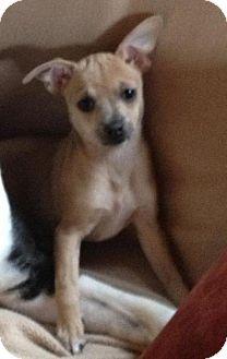 Chihuahua Puppy for adoption in richmond, Virginia - Peanut