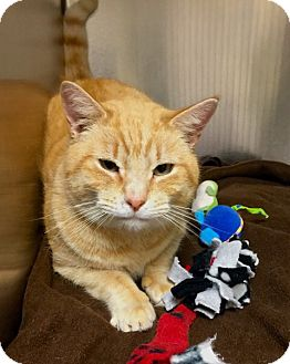 Domestic Shorthair Cat for adoption in Lambertville, New Jersey - Cheddar