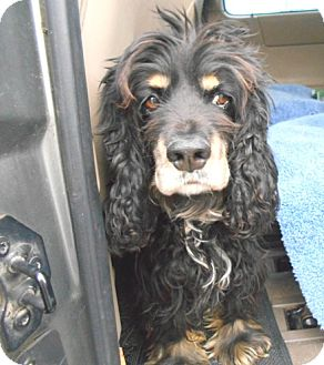 Cocker Spaniel Dog for adoption in Kannapolis, North Carolina - Castle -Adopted!