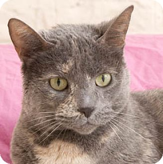 Domestic Shorthair Cat for adoption in Chicago, Illinois - Pepper