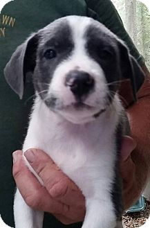 Australian Shepherd Mix Puppy for adoption in Gainesville, Florida - Cupcake
