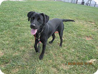 Labrador Retriever Mix Dog for adoption in LaGrange, Kentucky - ISABELLE