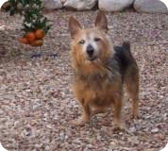 Australian Terrier Mix Dog for adoption in Tucson, Arizona - Mickey