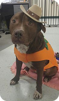 Pit Bull Terrier Mix Dog for adoption in Brooksville, Florida - DUKE