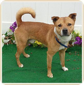 Boxer/Shiba Inu Mix Dog for adoption in Marietta, Georgia - BOOMER
