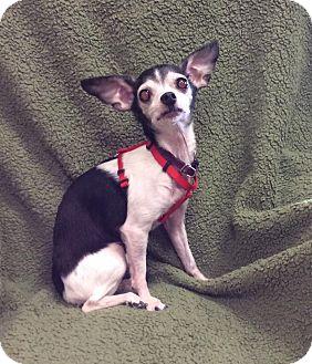 Chihuahua Dog for adoption in Mechanicsburg, Ohio - Cookie