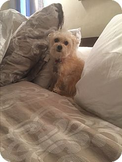 Terrier (Unknown Type, Small)/Yorkie, Yorkshire Terrier Mix Dog for adoption in beverly hills, California - Lyla