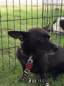Chihuahua/Dachshund Mix Dog for adoption in Clifton, Texas - Mama Marybell