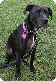 Pit Bull Terrier Mix Dog for adoption in Louisville, Kentucky - Bailey. cp