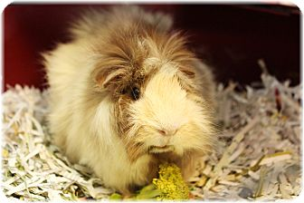 Guinea Pig for adoption in Welland, Ontario - Patti