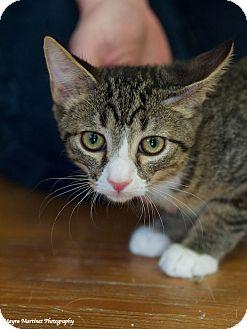 Domestic Shorthair Kitten for adoption in Nashville, Tennessee - Bandit