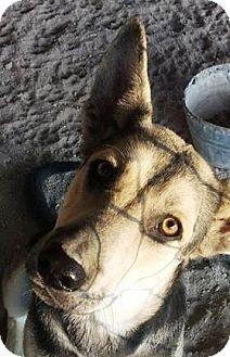 German Shepherd Dog Mix Puppy for adoption in Las Vegas, Nevada - Cortana