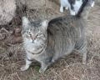 Domestic Shorthair Cat for adoption in Stuart, Virginia - Leddie