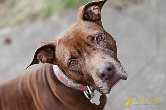Pit Bull Terrier/Labrador Retriever Mix Dog for adoption in Pittsburgh, Pennsylvania - Lady Tiana