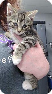 Domestic Shorthair Kitten for adoption in Paducah, Kentucky - Syrah