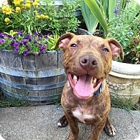Adopt A Pet :: PUPPY - Smith!! - Lincoln, CA