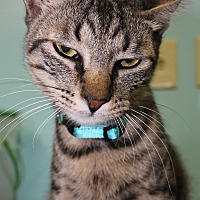 Domestic Shorthair Cat for adoption in Cuero, Texas - Pepper