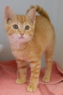 Domestic Shorthair/Domestic Shorthair Mix Cat for adoption in Ridgely, Maryland - T.J.
