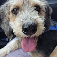 Adopt A Pet :: Lucy - Washington, DC