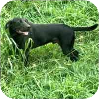 Labrador Retriever Mix Dog for adoption in Terre Haute, Indiana - Magic