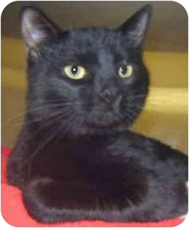 Domestic Shorthair Cat for adoption in Grass Valley, California - Don Juan