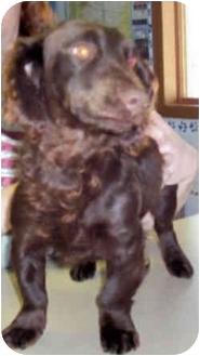 Dachshund/Spaniel (Unknown Type) Mix Dog for adoption in Murphysboro, Illinois - Aiden