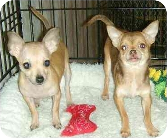 Chihuahua Puppy for adoption in House Springs, Missouri - Olivia