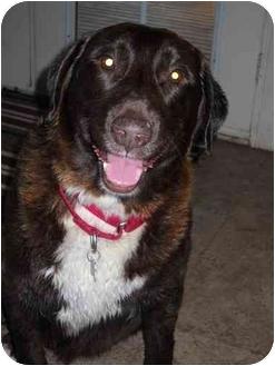 Labrador Retriever Dog for adoption in Salem, Oregon - Cocoa