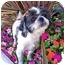 Photo 1 - Shih Tzu Dog for adoption in Los Angeles, California - KRINGLE