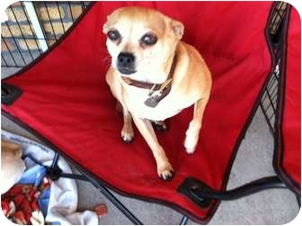 Chihuahua Mix Dog for adoption in North Hollywood, California - Mad Max