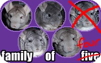 Chinchilla for adoption in Virginia Beach, Virginia - Family of 4
