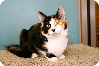 Calico Cat for adoption in Coronado, California - Priscilla