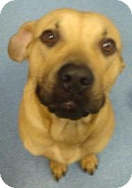Black Mouth Cur Mix Dog for adoption in Gainesville, Florida - Buck