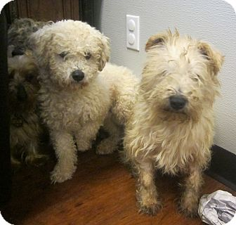 Miniature Schnauzer/Yorkie, Yorkshire Terrier Mix Dog for adoption in Oak Ridge, New Jersey - 1/11/14 PuppyMill Rescue