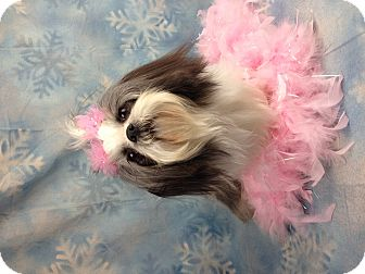 Shih Tzu Dog for adoption in Winchester, Kentucky - Mopsy