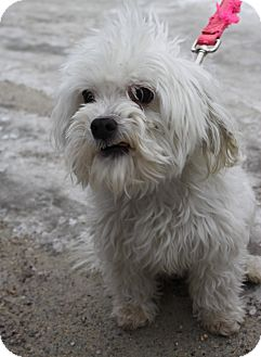 Maltese Mix Dog for adoption in Waldorf, Maryland - Teddy Bear